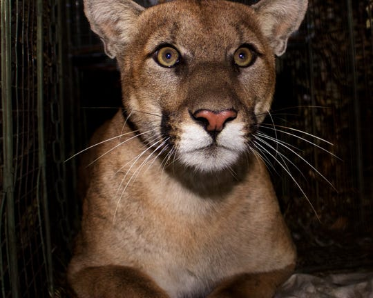 A mountain lion dubbed P-61 by researchers was first captured in October 2017. He was less than 2 years old at the time and found in the eastern end of the Santa Monica Mountains.