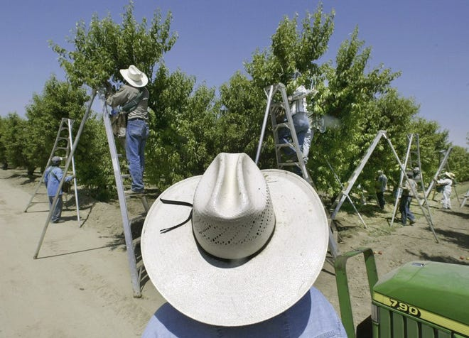 In this May 13, 2004, file photo, a foreman watches workers pick fruit in an orchard in Arvin. The EPA said on Wednesday, May 18, 2021, it would ban chlorpyrifos, a widely used toxic pesticide blamed for harming brain development in babies.
