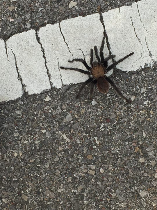 Cyclists can get close to nature, and may even catch a glimpse of a Texas Brown Tarantula crossing the road.