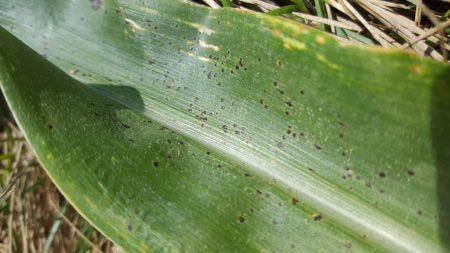 Tar spot on a leaf of corn located in Arlington, WI on August 7, 2019.