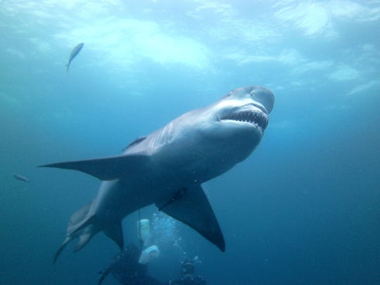 Robert Rininger of Charlotte photographed this shark while scuba diving off the coast of West Palm Beach, Florida on January 5, 2013.