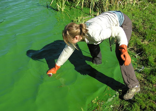 An employee with the Washington State Department of Ecology Freshwater Control Program samples a lake with a visible cyanobacteria bloom.