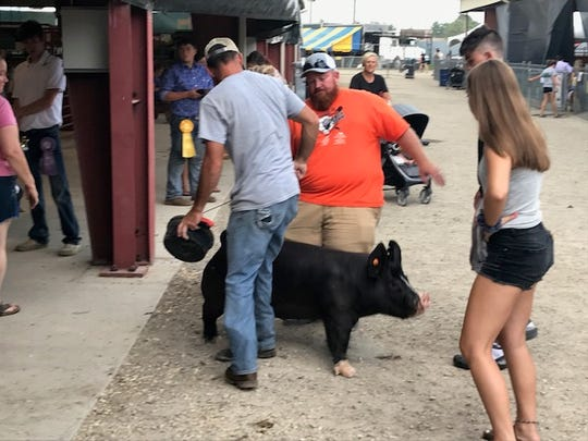 A pig defies herding on Aug. 8, 2019 at the Ross County Fair.