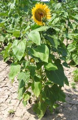 The second annual Coshocton Sunflower Festival will be Friday to Sunday at the KOA Campground. Fields were planted with 44 different types of sunflowers in a variety of colors and styles.