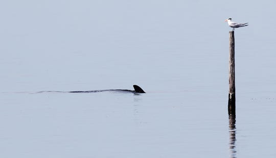 A dolphin feeds in the shallows of Pine Island Sound recently.