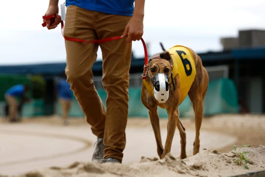 A greyhound is led to the starting block before a race at Southland Casino Racing in West Memphis, Ark., on Aug. 7, 2019.