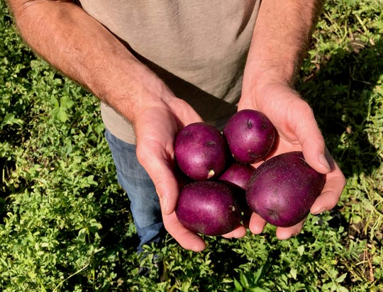Jesse Perkins of Vermont Valley Community Farm digs up his favorite Peter Wilcox potatoes, a gorgeous purple variety with yellow flesh.