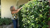 Espalier... it's a thing. A Southwest Florida woman coaxes greenery to climb the wall.
