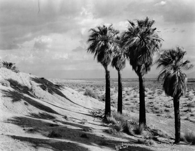 A Stephen Willard landscape photograph of palm trees and sand dunes.