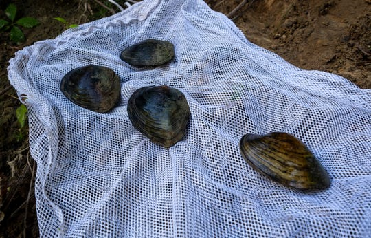 Three White Heelsplitters and a Plain Pocketbook mussel are laid out on a mesh back on the banks of the Black River Friday, Aug. 9, 2019, in Grant Township.
