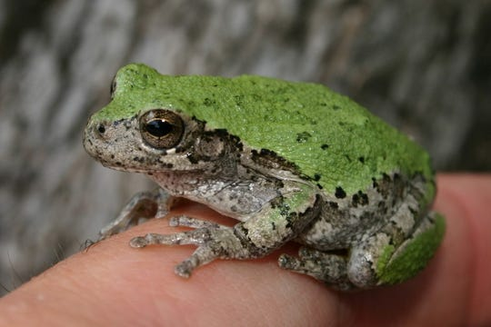 "Gray Treefrogs (Hyla versicolor) belong to a genera of frogs that is taxonomically known as the ""true"" treefrogs."