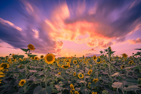 "Sunflower Sunset by Andrew Wilhite - ""The sunflowers are so fun to capture. I love the color composition of this photo. The image looks more like a painting than an actual photo and the warm color combinations just draw me into the photo."" - Brandy Evans"