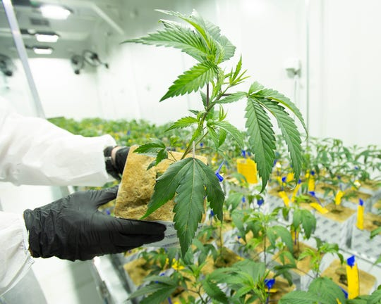 Medical marijuana at the LSU AgCenter production facility.