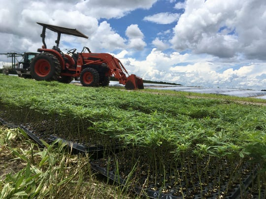 A scene from Green Earth Cannacueticals hemp research location in Bartow, Florida.