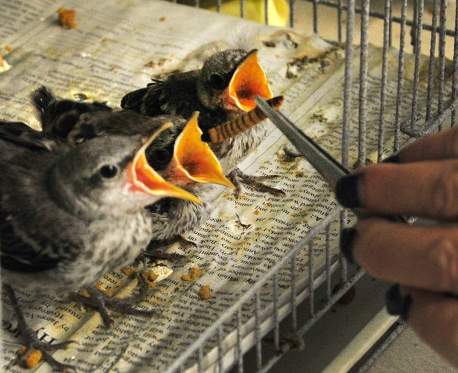Wild Bird Rescue, Inc, director, Ginger McConnell feeds some baby Mockingbirds, Friday after the center saw an increase in birds in need of rescuing. In a social media post, the rescue has reached out to the public for needed supplies.