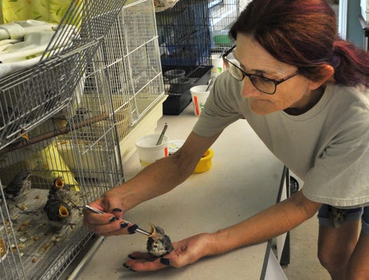 Wild Bird Rescue, Inc, director, Ginger McConnell feeds a Mockingbird Friday afternoon after she said the heat has affected birds nest increasing the need for the rescues help. In a social media post, Wild Bird Rescue said they were in desperate need of bleach, Clorox wipes, and other supplies.