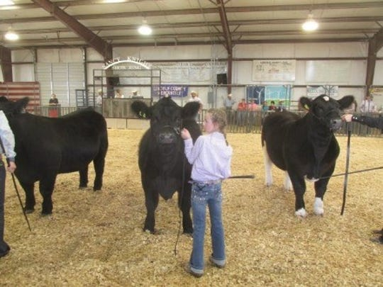 Ensuring the cows behave at the Lincoln County Fair.