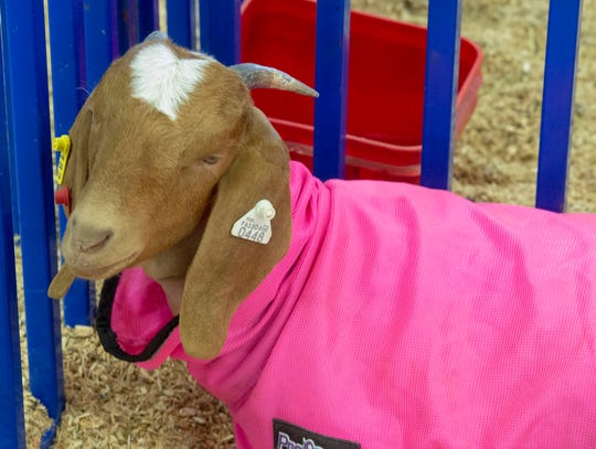 Some goats made colorful fashion statements at the York County 4-H Fair in West Manchester Township on Saturday, Aug. 10, 2019.