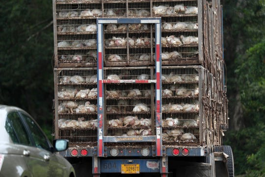 Business continues at this Koch Foods Inc., plant in Morton, Miss., Thursday, Aug. 8, 2019, as chickens are shipped in for processing following Wednesday's raid by U.S. immigration officials. The raids were part of a large-scale operation targeting owners as well as undocumented employees.
