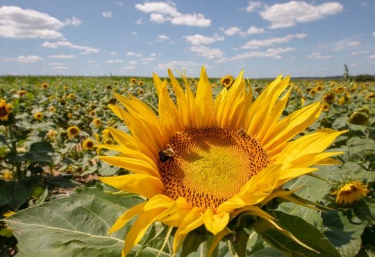 A sunflower rises above a sea of flowers during the 3rd Annual Sunflower Festival at Maple Lawn Farms in Fawn Township.