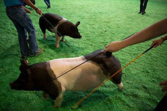 Pigs are shown during Bacon Buddies swine show at the Iowa State Fair on Saturday, Aug. 10, 2019 in Des Moines.  Bacon Buddies is a new program that pairs people with special needs with FFA participants to show pigs.