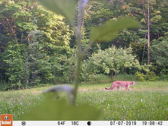 A cougar image is shown from a landowner's game camera, northwest of Ironwood in Gogebic County.