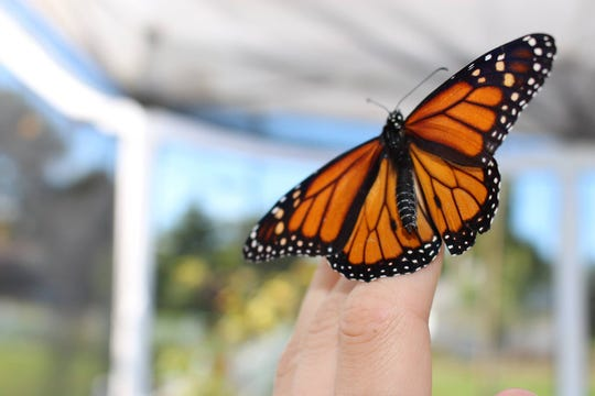 George's Livonia Gardens will host its annual Monarch Butterfly Tag and Release Event on Sept. 14.