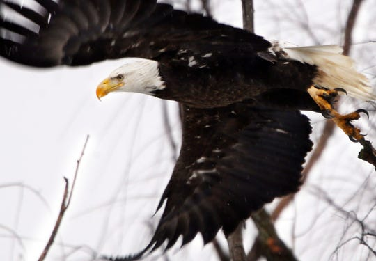 While once-endangered bald eagles are booming again in the Chesapeake Bay, the overall trajectory of endangered species and the federal act that protects them isn't so clearcut.