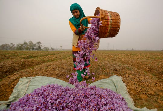 In this Nov. 1, 2015 file photo, a Kashmiri woman collects saffron flowers after plucking them at a farm in Pampore, south of Srinagar, Indian controlled Kashmir.