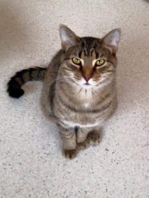 Elton is a 4-year-old male Tiger looking for a home.
