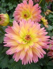 'Sunset' dahlia blends the pinks, reds and yellows of day's end.