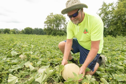 Bentley Lake Farms owner C.J. Turner's work harvesting melons is non-stop. Locating a ripe one in his Marion Twp. field Monday, Aug. 12, 2019, C.J. mentions that they ripen very suddenly; earlier in the day this very melon might not have been ready to pick.