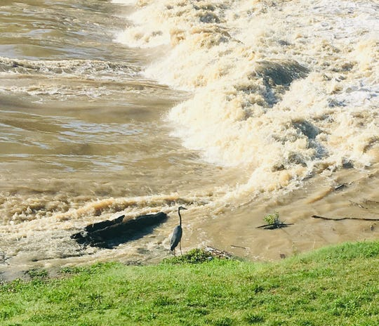 The White River rolls past a great blue heron near High Street in Muncie the day after a train of thunderstorms traveled through the area on July 10.