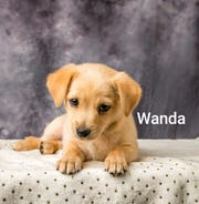 Wanda is one of the puppies ready for adoption at the International Homeless Animal event Aug. 17 at Animal Village NM in Alamogordo.