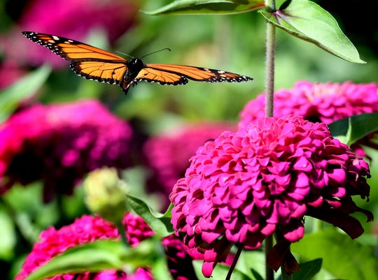 A butterfly peruses the zinnia blooms on Dennis Fitz' York Township farm Monday, Aug. 12, 2019. He said he sells the flowers at Central Market. Zinnia's bright colors are known for attracting butterflies and other pollinators. Bill Kalina photo
