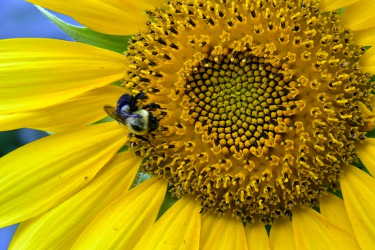 Wisconsin is home to about 400 bee species and there are about 4,000 species in the United States.