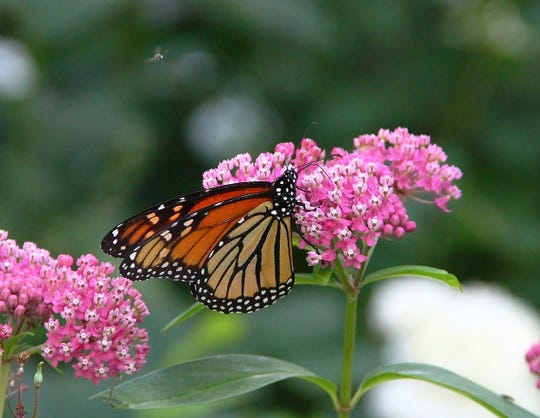A monarch butterfly gathers nectar from the pink blossoms of this fragrant plant.