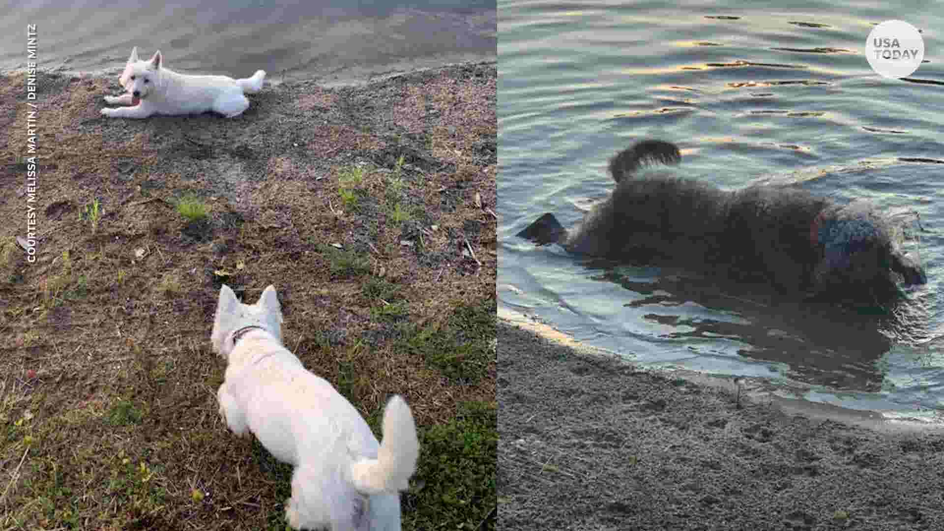 Couple loses three dogs hours after they played in pond with toxic algae
