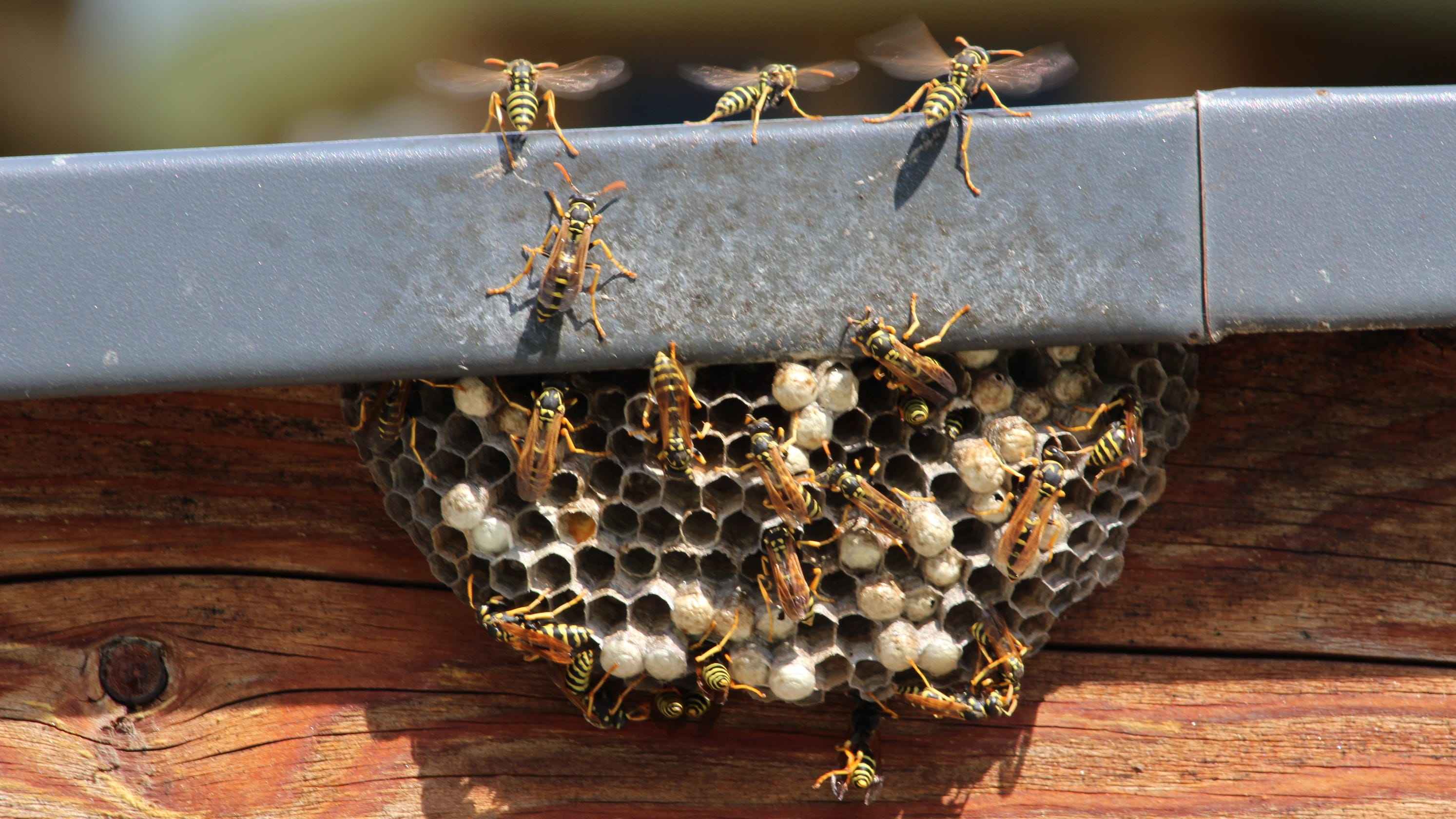 Angry wasps help police nab fleeing fugitive in Germany