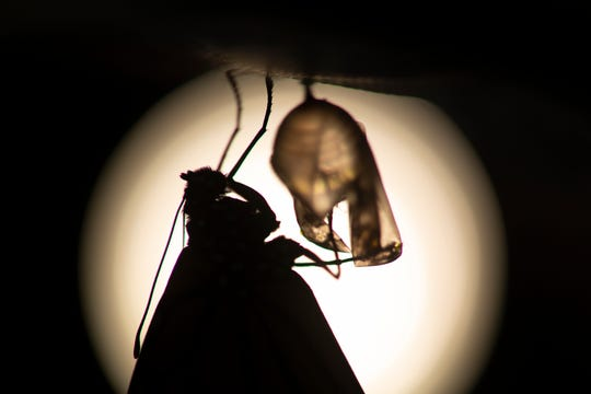 A monarch butterfly is silhouetted suspended near its empty chrysalis soon after emerging in Washington, Sunday, June 2, 2019.