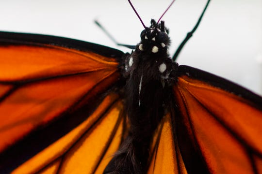 This photo shows a monarch butterfly after it emerged in Washington, Sunday, June 2, 2019.