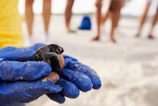 Of the 80 green sea turtles in a nest excavated by Turtle Time Inc. on Fort Myers Beach Sunday, August, 11, 2019, 38 survived and 42 did not including this one. It wil be will sent off for identification purposes.