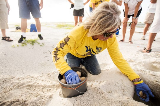 Eve Haverfield, the founder of Turtle Time Inc., excavates the first green sea turtle nest ever documented on Fort Myers Beach on Sunday, August, 11, 2019, according to Haverfield. Thirty-eight hatchlings made it to the Gulf of Mexico. Sea turtles, including loggerheads and green sea turtles, are having a banner nesting year so far. Bonita and Sanibel have green sea turtle nests as well.