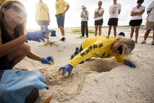 Eve Haverfield, the founder of Turtle Time Inc., excavates the first green sea turtle nest ever documented on Fort Myers Beach on Sunday, August, 11, 2019, according to Haverfield. Thirty-eight hatchlings made it to the Gulf of Mexico. Sea turtles, including loggerheads and green sea turtles, are having a banner nesting year so far. Bonita and Sanibel have green sea turtle nests as well. On the left is volunteer Jennie Worden. She found and documented the nest about two months ago.