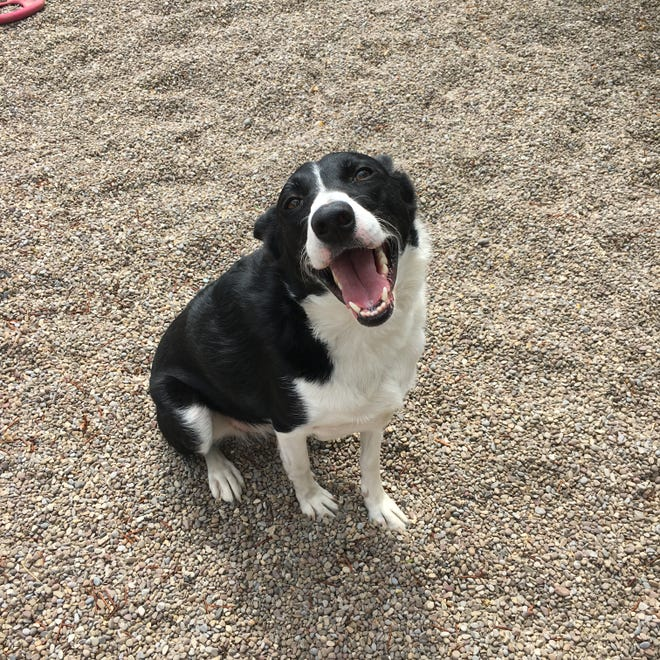 Name: Lucy Intake #: 12596 Spayed Female Border Collie X Age: ~3 Years Black / White