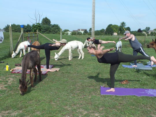 Step out of your comfort zone by taking a yoga class with alpacas at Montrose Farms, located in Brownsburg.