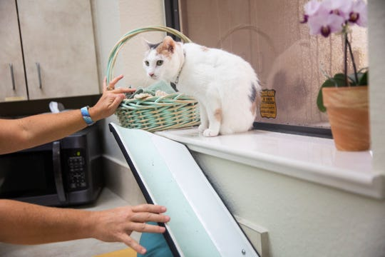 Stacey Cox, practice manager and certified veterinary technician, encourages Squish to walk down her slide that connects the window sill to the floor at East Side Animal Clinic in Naples on Tuesday, August 13, 2019. Squish was brought in to the clinic in May of 2007 as an emergency patient after she was saved from a three-dog fight, which caused extensive damage to her back legs. The veterinarians at the clinic amputated her back legs, and she has been their mascot and greeter ever since.