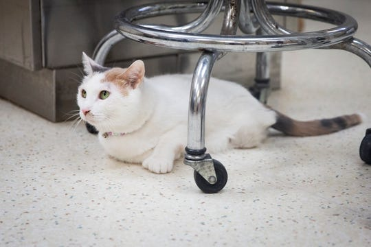Squish lays under a stool at East Side Animal Clinic in Naples on Tuesday, August 13, 2019.