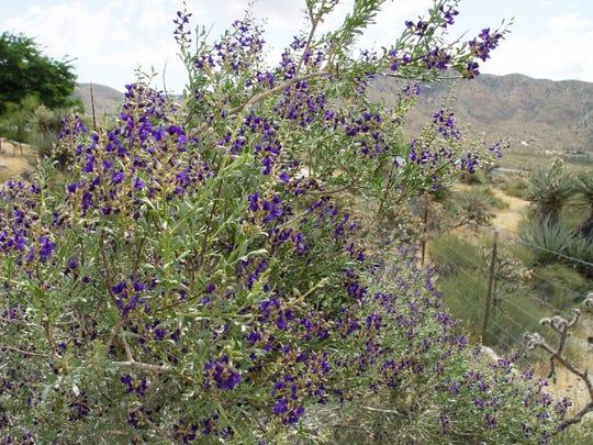 Psorothamnus arboreus, the desert indigo bush in spring bloom.