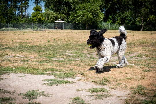 Stanley, a 9-month-old Newfiedoodle, returns a tennis ball to his owner Danielle Eastwood, at the Fort Gratiot Canine Commons dog park Tuesday, Aug. 13, 2019.